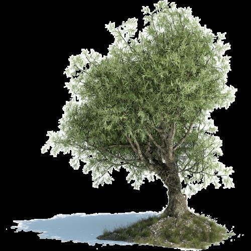 olive-tree-1